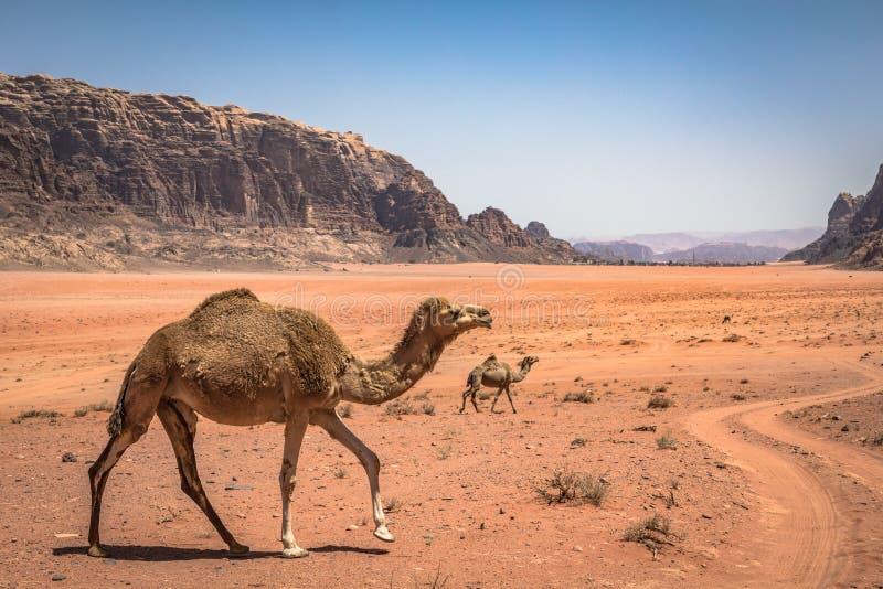 红色沙子沙漠和骆驼晴朗的夏日在瓦地伦,约旦 中东联合国科教文组织世界遗产名录选址和叫作 免版税库存图片