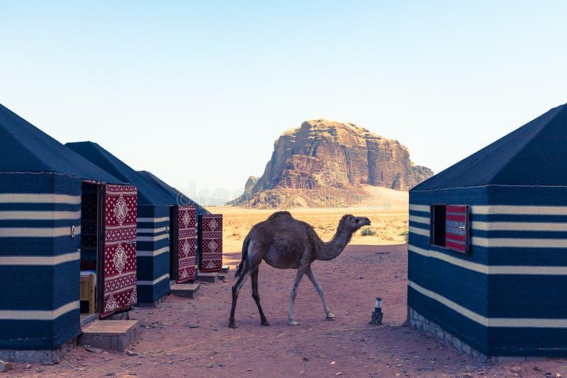 红色沙子沙漠和骆驼晴朗的夏日在瓦地伦,约旦 中东联合国科教文组织世界遗产名录选址和叫作 图库摄影