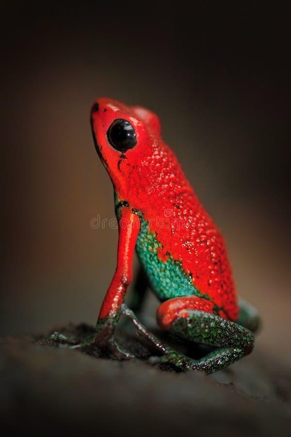 红色泊松青蛙颗粒状毒物箭头青蛙, Dendrobates granuliferus,在自然栖所,哥斯达黎加 美丽的异乎寻常的动物 免版税库存图片