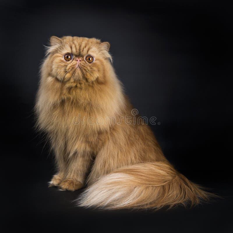 红色波斯猫坐黑背景 库存照片
