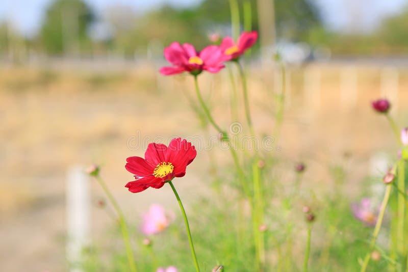 红色波斯菊花在自然庭院里 免版税库存图片