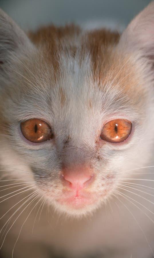 红色注视猫 库存照片