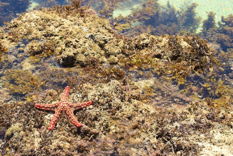 红色海星 印度洋海岸,迪亚尼海滩,肯尼亚,蒙巴萨 免版税库存照片