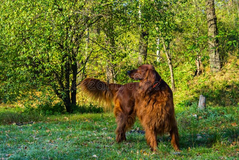 红色爱尔兰人的特定装置狗在绿色森林里 免版税库存照片
