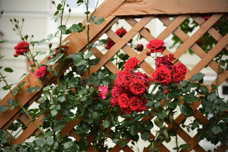 红色狂放的玫瑰丛 免版税图库摄影