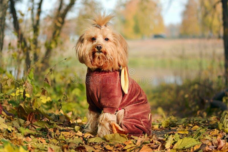 红色狗坐在阳光下 免版税库存照片