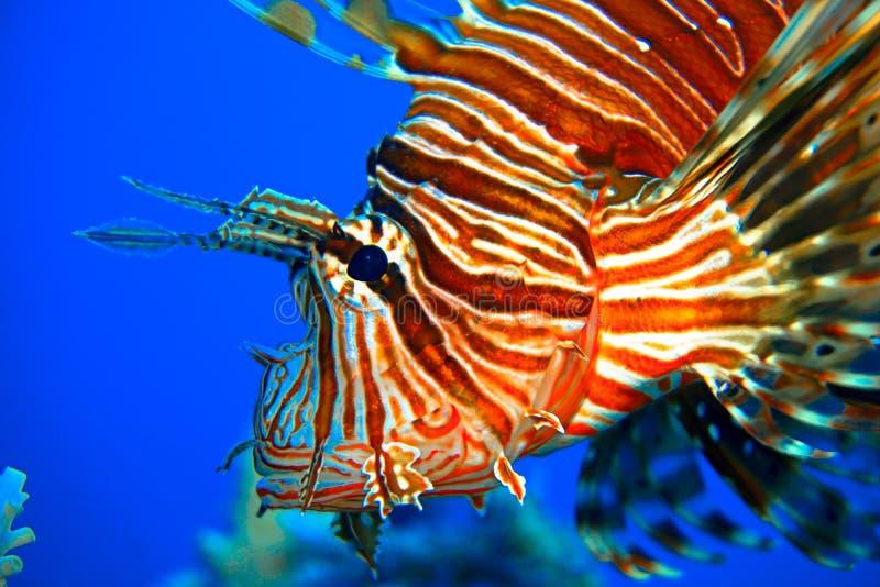 红色狮子鱼 免版税库存图片