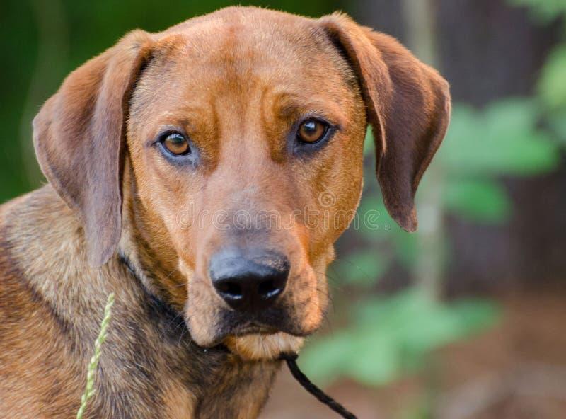 红色猎浣熊的猎犬被混合的品种狗. 混杂, 人道.