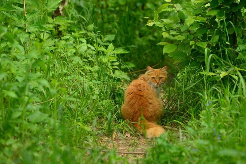红色猫到狂放里 库存图片