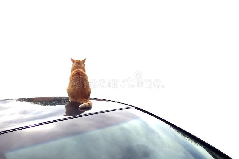 红色猫坐一辆黑汽车的屋顶,调查距离,他的回到照相机,在白色背景的孤立 免版税库存照片