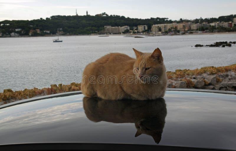 红色猫基于汽车的屋顶 库存照片
