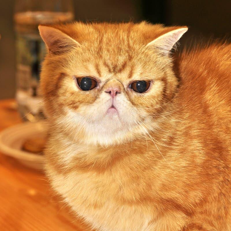 红色猫异乎寻常的shorthair 免版税库存图片