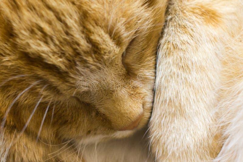 红色猫睡眠关闭  免版税库存图片