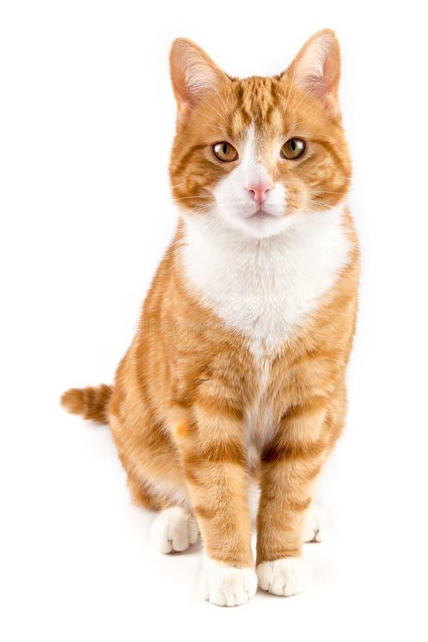 红色猫,坐往照相机,隔绝在白色 免版税库存照片