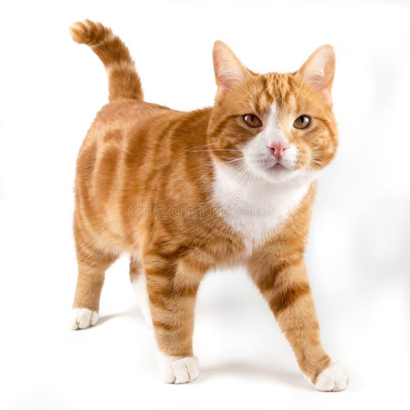 红色猫,走往照相机,隔绝在白色 免版税图库摄影