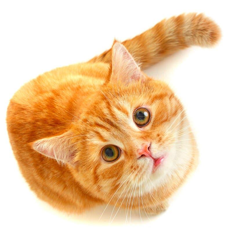 红色猫 图库摄影