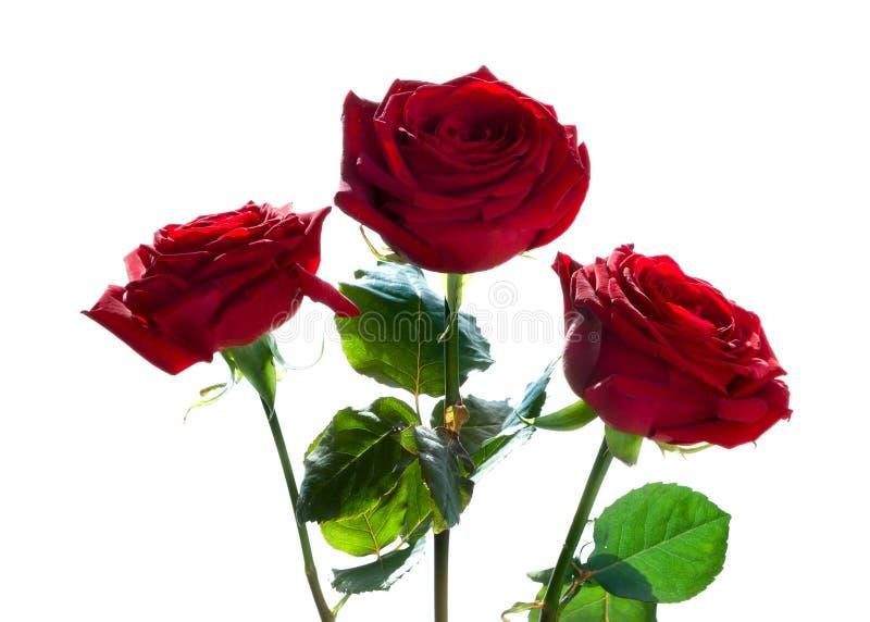 红色玫瑰三 免版税图库摄影