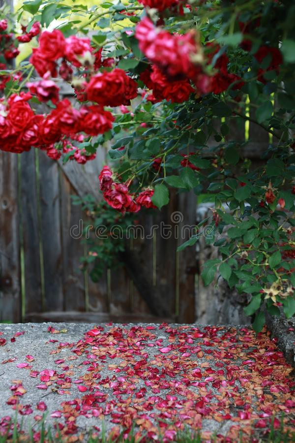 红色玫瑰丛,被弄脏的掀动转移射击, 库存照片