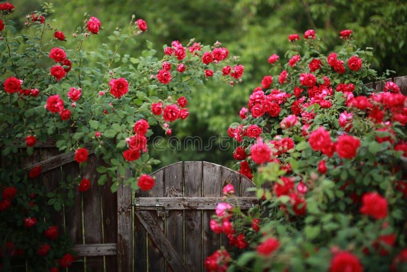 红色玫瑰丛,被弄脏的掀动转移射击, 图库摄影
