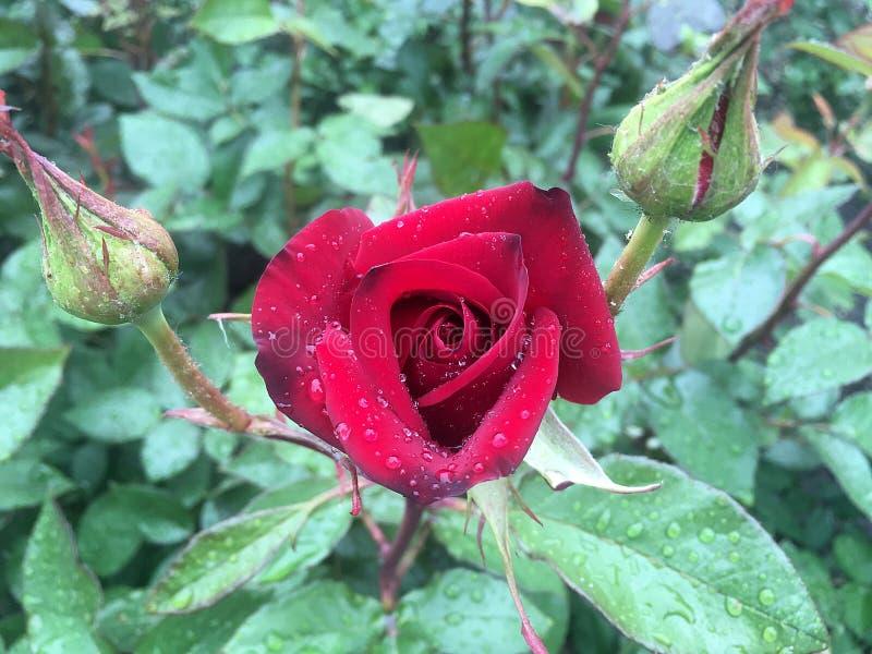 红色玫瑰出生在雨下落 库存图片