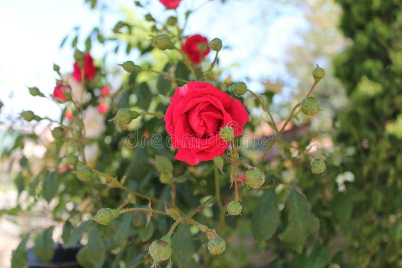 红色玫瑰和bourgeons 库存图片