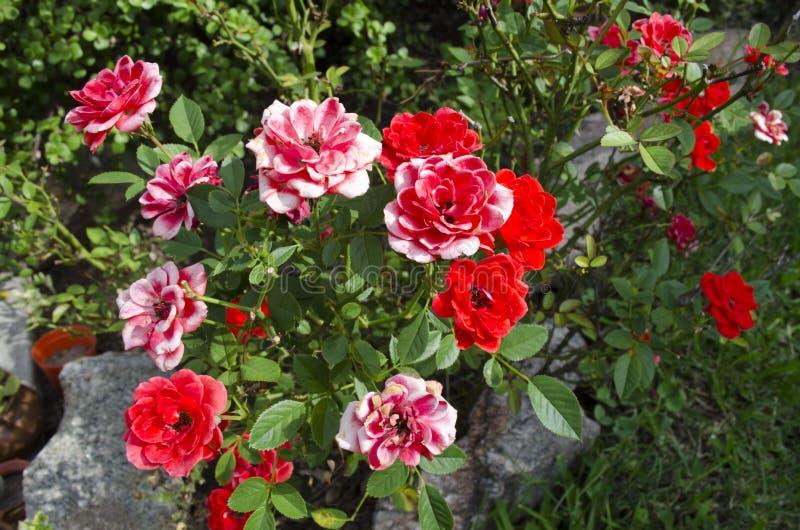 红色玫瑰在庭院里开花背景 库存图片