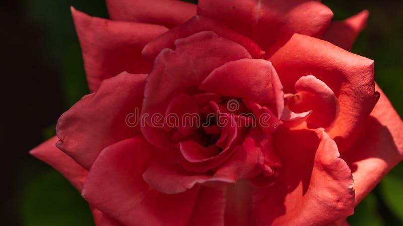 红色玫瑰在灌木增长在庭院里 库存照片