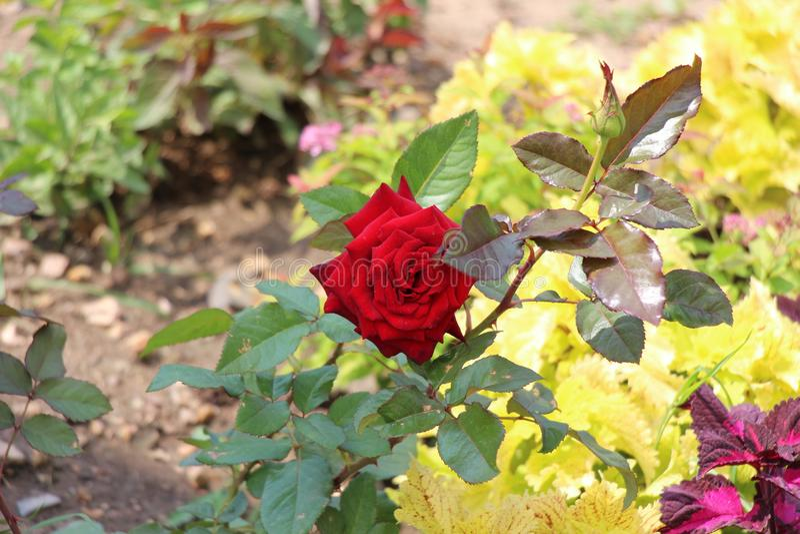 红色玫瑰在花圃/夏天在一个晴朗的下午开花/ 免版税库存图片