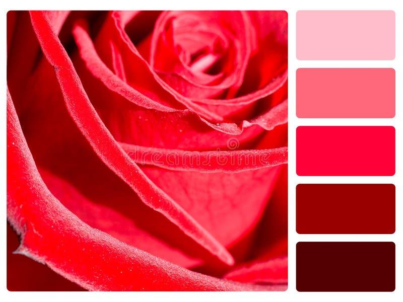 红色玫瑰色板显示样片 库存图片