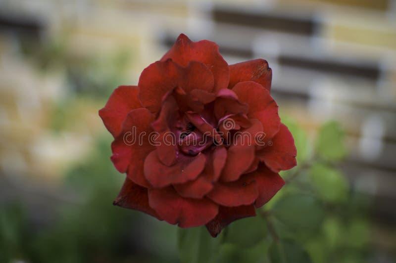 红色玫瑰有被弄脏的背景 免版税库存照片