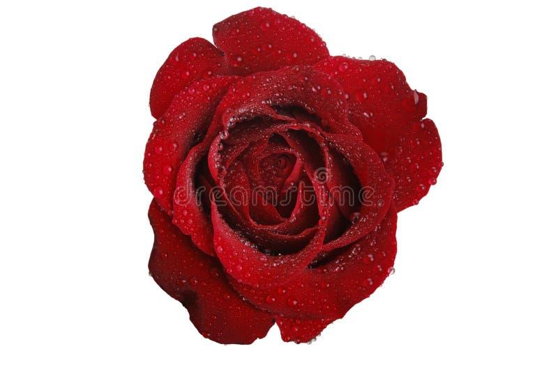 红色玫瑰白色 免版税库存图片