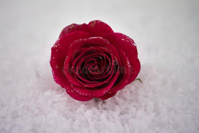 红色玫瑰的圣诞节或华伦泰浪漫冬天季节摄影图象在与闪烁瓣的雪开花 免版税库存图片