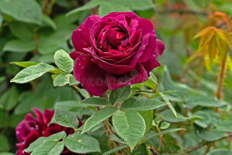 红色玫瑰的照片在草背景的庭院里 免版税库存照片