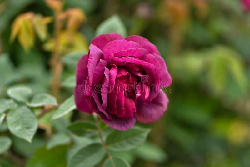 红色玫瑰的照片在草背景的庭院里 免版税图库摄影