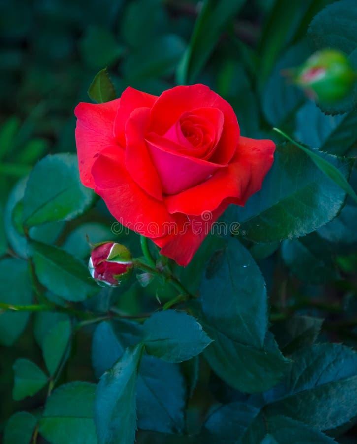 红色玫瑰美丽的花  年轻芽 绿色叶子作为背景 库存图片