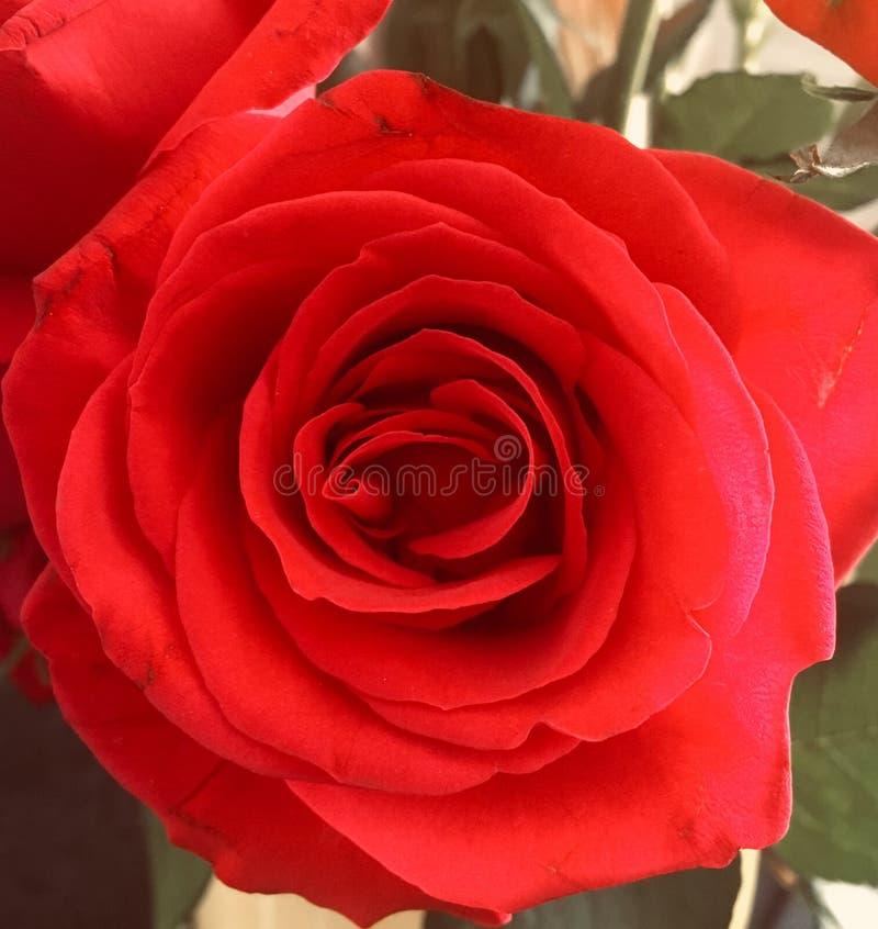 红色玫瑰色特写镜头 免版税库存图片