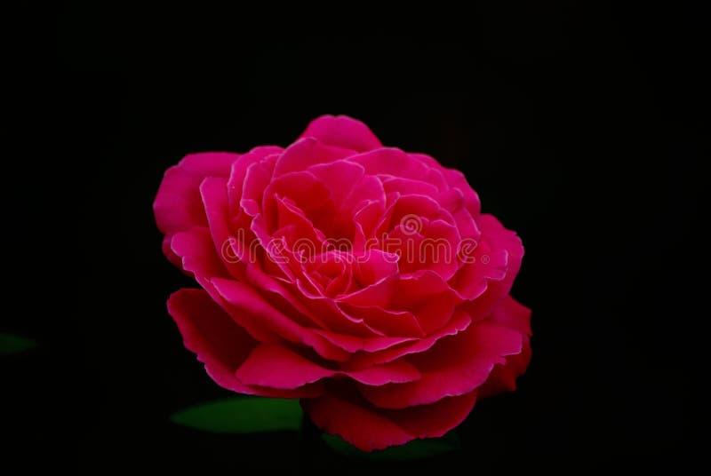 红色玫瑰色花和黑背景 向量例证