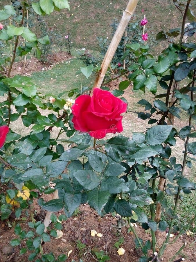 红色玫瑰色花在庭院里 库存照片
