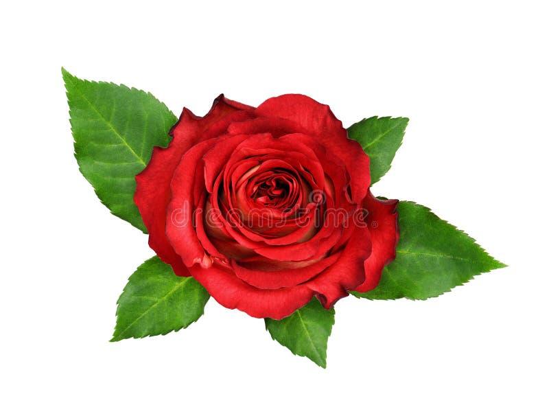 红色玫瑰花和绿色叶子 免版税库存照片
