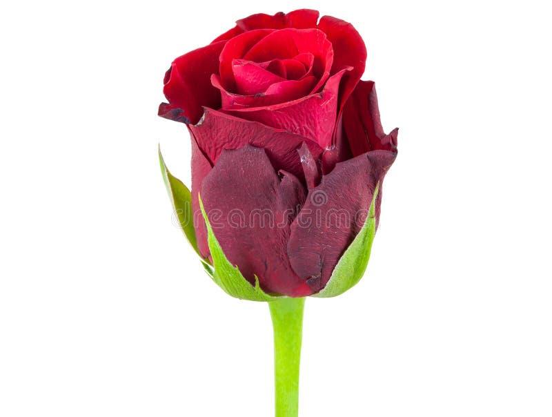 红色玫瑰花特写镜头  免版税库存图片
