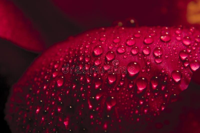 红色玫瑰花瓣关闭与小滴水 宏观射击 免版税库存照片