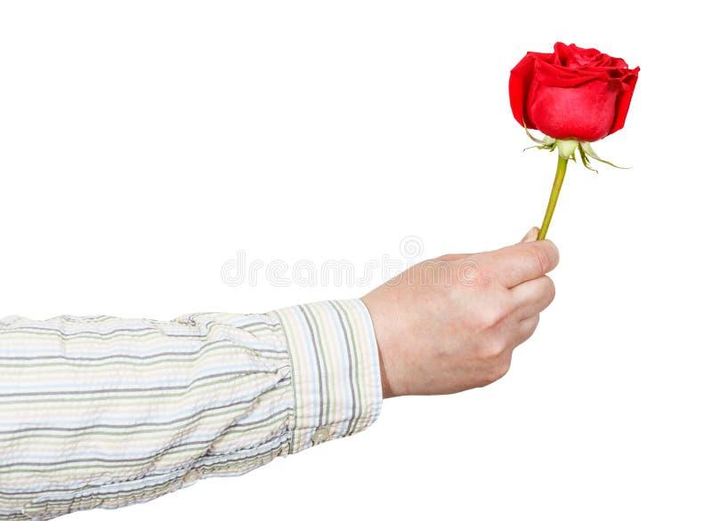 给红色玫瑰花的男性手被隔绝 免版税库存图片