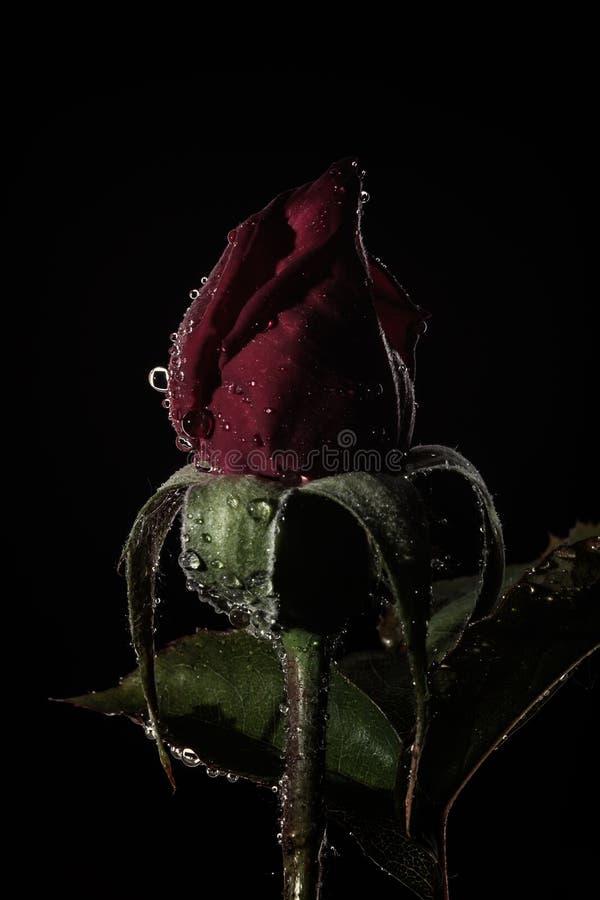 红色玫瑰花蕾 图库摄影
