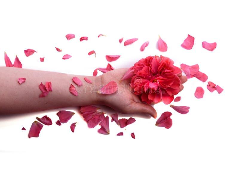 红色玫瑰芽在妇女` s手和玫瑰花瓣上 护肤和穿孔机 库存照片