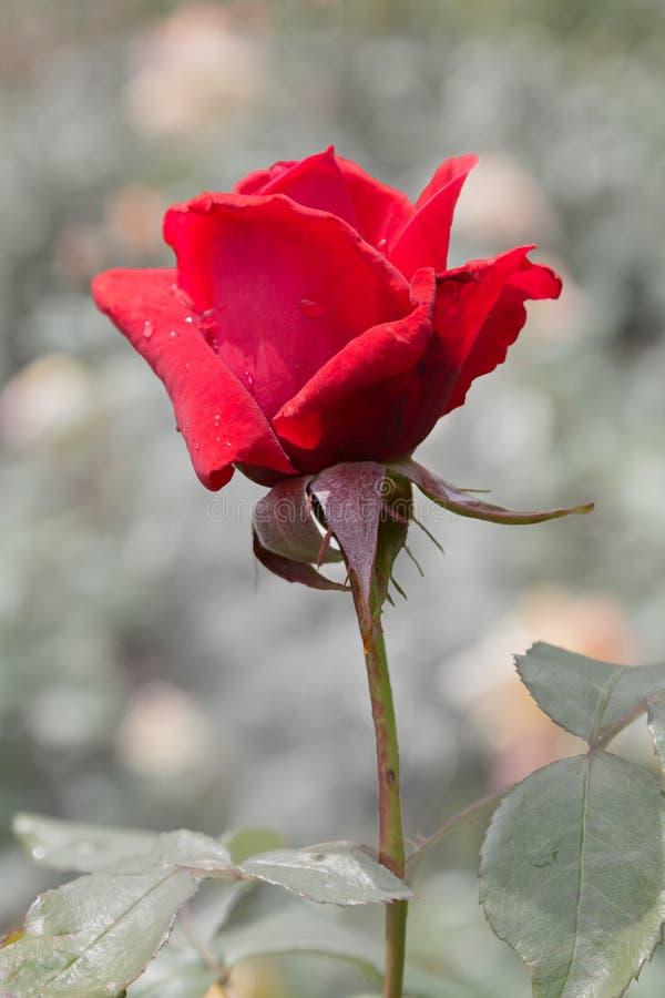 红色玫瑰颜色钥匙 库存图片