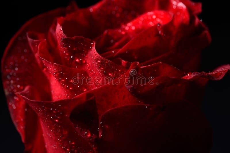 红色玫瑰,剧烈的点燃的o的宏观图片与露水小滴的 免版税库存照片