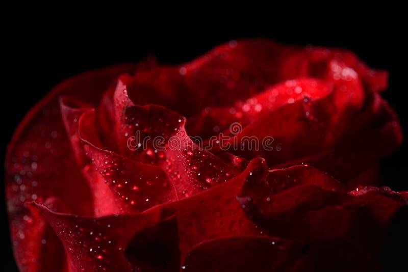 红色玫瑰,剧烈的点燃的o的宏观图片与露水小滴的 免版税图库摄影