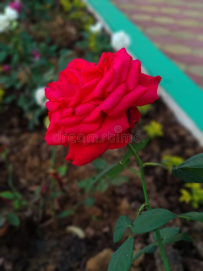 红色玫瑰,我爱红色玫瑰,我提出我的girlfriend& x27;在这朵玫瑰的s 免版税图库摄影