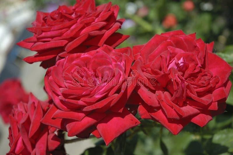 红色玫瑰 免版税库存图片