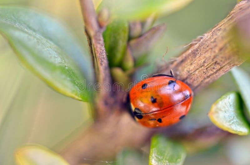 红色瓢虫在庭院里 免版税库存照片